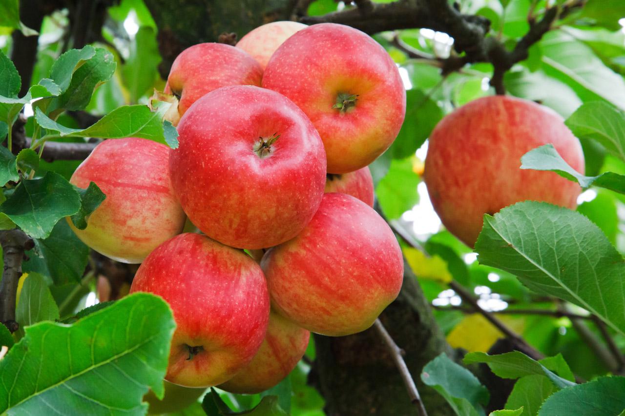 Beneficios de una manzana - Astrolabio