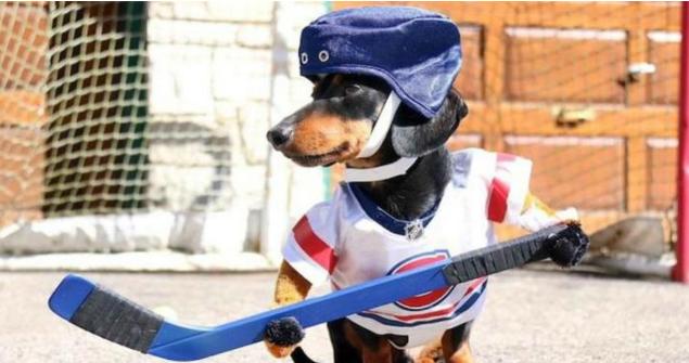(Video) Perros salchicha participan en divertido partido de hockey