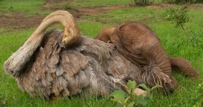 La amistad no distingue especies: elefante y avestruz conquistan redes
