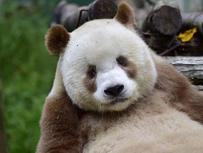 Qizai, el único oso panda café en el mundo