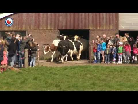 """(Video) Liberan vacas luego de 6 meses de prisión y saltan """"de felicidad"""""""