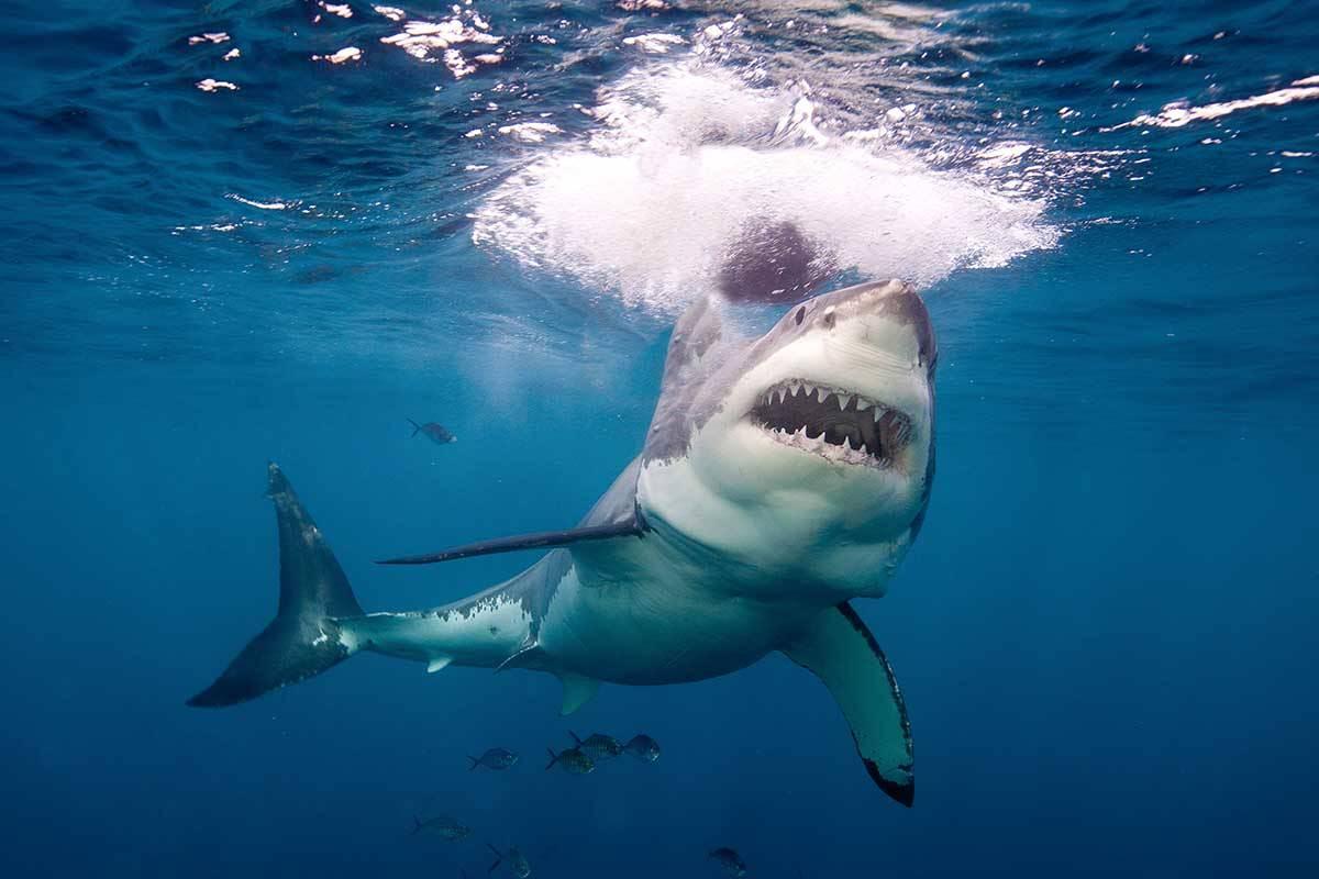 El tiburón pasa de ser predador a presa